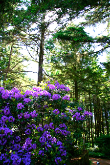 Photo purple rhodedendrons at WildSpring